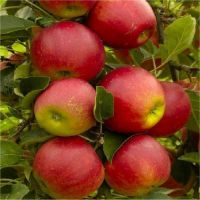 Fresh fruit product type and fresh style red delicious apple fresh apple