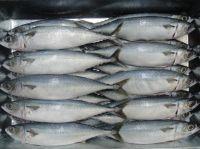 Frozen Atlantic Mackerel with all size