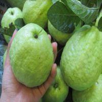 Fresh Fruits Guava Supplier / Exporter