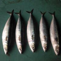 Best quality fresh frozen mackerel from thailand