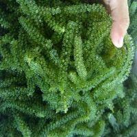 Frozen Seaweed/ Sea Grape