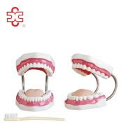 human medical dental care (tooth) model