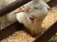 Soybean Meal (With A 50% Soy Protein)
