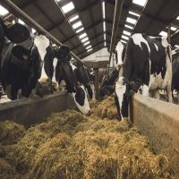 Healthy Pregnant Holstein Heifers/Simmental Cow
