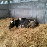 Pregnant Holstein Heifers Cow Ready