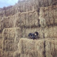 Premium Grade A Alfalfa Hay, Timothy Hay, Animal Feed for sale