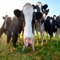Pregnant Holstein Heifers Cow