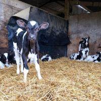 Pregnant Holstein Heifers live cows