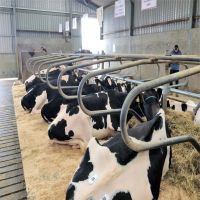 Cows Alive Pregnant Holstein Heifers
