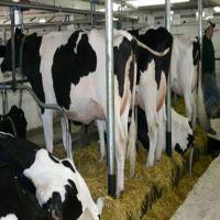 Healthy Pregnant Holstein Heifers/Simmental Cow
