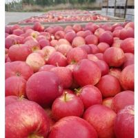 Hot sale red chief apple