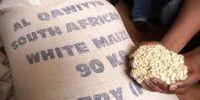 White Maize/Corn Suitable for Human Consumption