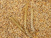 Feed Barley For Animal Feed And Human