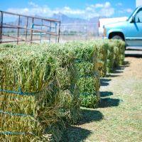 High Quality Teff Hay