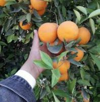 Fresh Orange, Navel & Valencia Orange