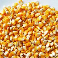 Maize yellow corn