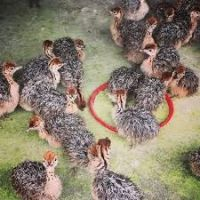 Live Ostrich Chicks,Ostrich Eggs,Ostrich Egg Shell,ostrich feather