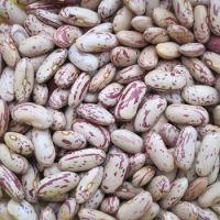 Long Shape Light Speckled Kidney Beans Sugar Beans