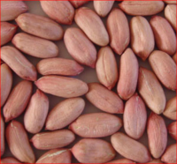 High Quality Bold/Java Peanuts in Shell for Sale