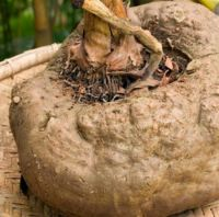 Elephant Yam for sale