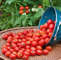 Tomato Cherry Red for sale
