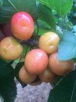 fresh fruit cherry from china& fresh cherry