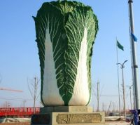 Chinese cabbage Chinese fresh celery cabbage supplier and exporter