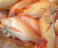 Fresh Frozen Red/Black Tilapia Fish