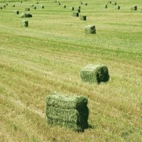 Quality grade Alfalfa Hay
