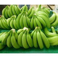 WHOLE GREEN FRESH BANANA/ Green BANANA RIPEN COOL ROOM FOR SALE/ CAVENDISH BANANA BIG size Selling