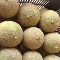 supplier fruit fresh South African melon with high quality
