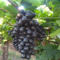 Grapes /Black grapes/Best fresh Black grapes /New Season 2018-2019/Sharad/Flame/Jumbo