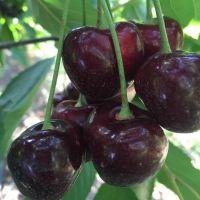 Red Sweet Cherry / Fresh Chery Fruit