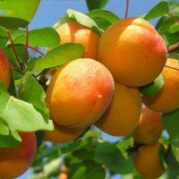 Cheap Fresh Apricots , Wholesale Fresh Apricots , Bulk Fresh Apricots