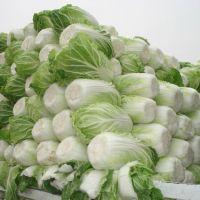 Fresh Celery Cabbage ,CELERY CABBAGE,New harvest fresh celery cabbage