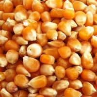 100% Maturity and Common Cultivation Type Yellow & White corn/maize for animal feed grade