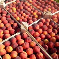 High-quality wholesale natural BIO organic from Moldova delicious fresh peaches