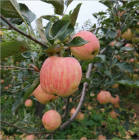 Fresh Fuji Apple Fruit, red Fuji apples, fresh custard apple fruit/delicious apple fruit/mature apples fruit