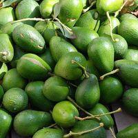 Grade A Fresh Avocados, Hass Avocados from south Africa