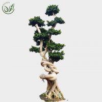 Ficus Microcarpa Bonsai