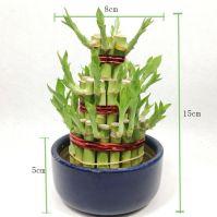 Dracaena Sanderiana tower shape Lucky Bamboo