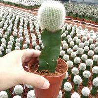 Indoor Mini Colourful Grafted Cactus