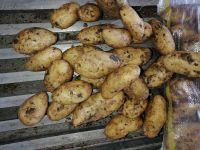 Fresh Potato ( Spunta )