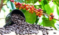 Quality Beans of Arabica Coffee Beans