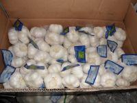 Chinese Fresh Garlic   White Garlic