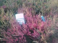Salicornia Evropia