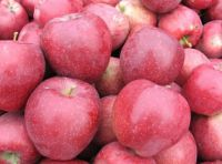 Bulk Sales Fresh Apples