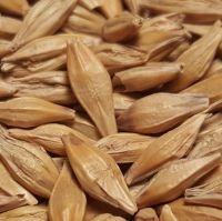 Premium Quality Barley