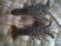 Baby Lobster, Lobster Seed and Live Lobster