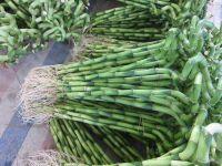 Dracaena Sanderiana Lucky Bamboo Spiral Bamboo 45cm  15 cm Tower Bamboo